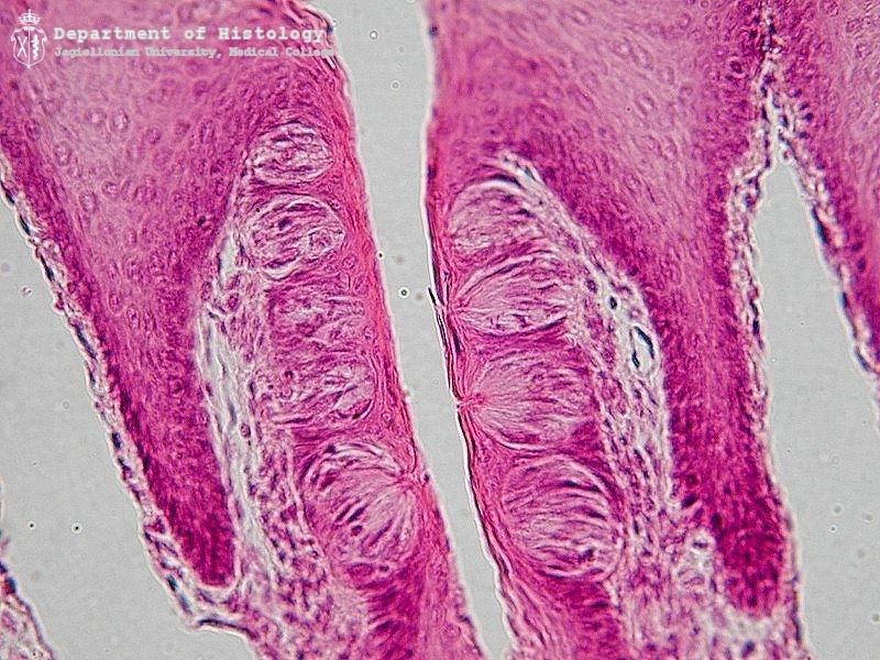 Foliate Papillae